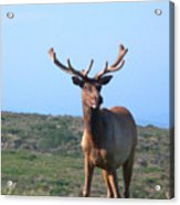 Tule Elk Bull In Grassland Near Drake's Bay Acrylic Print