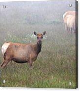 Tule Elk In Fog Acrylic Print