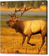 Tule Elk Running By While Bugling Acrylic Print