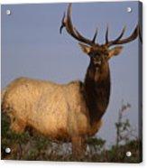 Tule Elk - Tomales Point Acrylic Print
