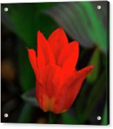 Tulip 0058 Acrylic Print
