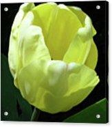 Tulip 0755 Acrylic Print