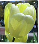 Tulip 0761 Acrylic Print