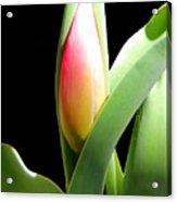 Tulip 1 Acrylic Print