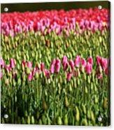 Tulip-1 Acrylic Print