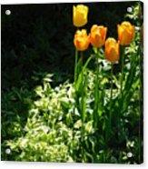 Tulip #1 Acrylic Print