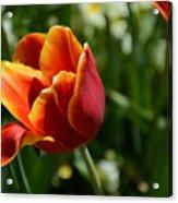 Tulip 11 Acrylic Print