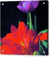Tulip 15 Acrylic Print