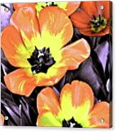 Tulip 16 Acrylic Print