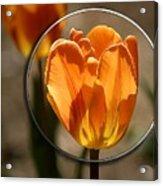 Tulip 1b Acrylic Print