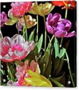 Tulip 8 Acrylic Print
