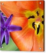Tulip And Company Acrylic Print