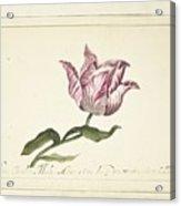 Tulip, Anna Cornelia Moda, 1677 Acrylic Print