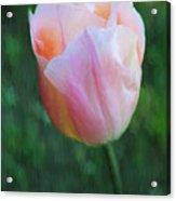 Tulip Apricot Beauty Acrylic Print