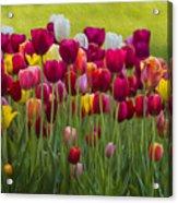 Tulip Bed  0117op Acrylic Print