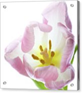 Tulip Bloom 2 Acrylic Print