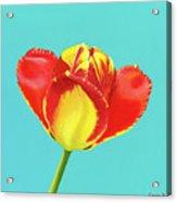 Tulip Burst Acrylic Print