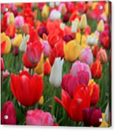 Tulip Color Mix Acrylic Print