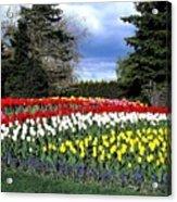 Tulip Country Acrylic Print