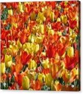 Tulip Delight 1 Acrylic Print