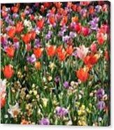 Tulip Delight 2 Acrylic Print