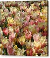 Tulip Delight 3 Acrylic Print