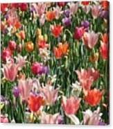 Tulip Delight 4 Acrylic Print