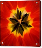 Tulip Explosion Kaleidoscope Acrylic Print