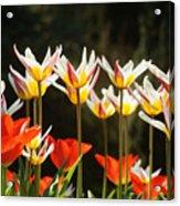 Tulip Field 11 Acrylic Print