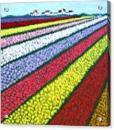 Tulip Fields Acrylic Print