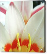 Tulip Flowers Art Prints 4 Spring White Tulip Flower Macro Floral Art Nature Acrylic Print