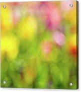 Tulip Flowers Field Blurred Defocused Background Acrylic Print
