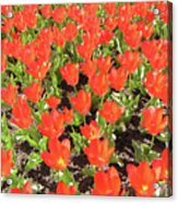 Tulip Garden Acrylic Print by Richard Mitchell