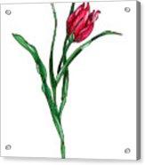 Tulip Illustration Acrylic Print