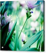 Tulip In Pastel Acrylic Print