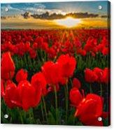 Tulip In Sunset Acrylic Print