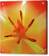 Tulip Inside Flower Orange Tulips Art Prints Baslee Acrylic Print