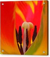 Tulip Intimate Acrylic Print