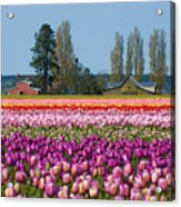 Tulip Landscape Acrylic Print