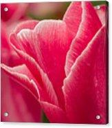 Tulip Layers Acrylic Print