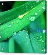 Tulip Leaf Droplets-2 Acrylic Print