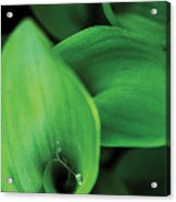 Tulip Leaves-1 Acrylic Print