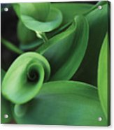 Tulip Leaves Acrylic Print