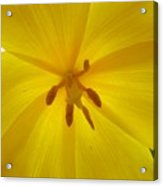 Tulip Light Acrylic Print