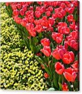 Tulip Line Acrylic Print