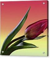 Tulip Love Acrylic Print