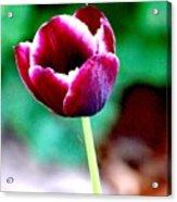 Tulip Me  Acrylic Print