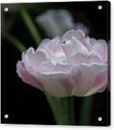Tulip Mistique Acrylic Print