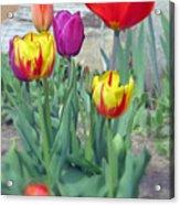 Tulip Mixture Acrylic Print