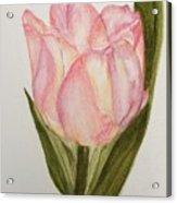 Tulip Watercolor Painting -triumph Tulip Acrylic Print